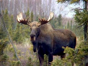 moose disturbed